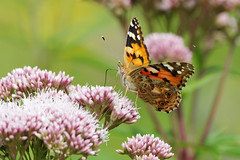 K32P1067c Painted Lady, Lackford Lakes, August 2019 (bobchappell55) Tags: insect lackfordlakes suffolk vanessacardui butterfly naturel paintedlady wild wildlife