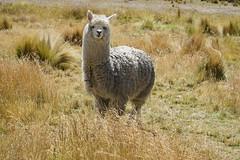 The beautiful alpaca (Chemose) Tags: sony ilce7m2 alpha7ii mai may pérou peru coldelaraya rayapass animal alpaga alpaca