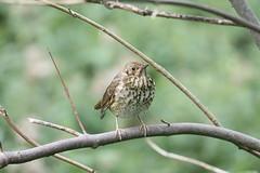 Song Thrush (turdus philomelos) (mrm27) Tags: cambridgeshire southcambridgeshire thrush songthrush turdus turdusphilomelos fowlmererspb fowlmere rspb rspbfowlmere