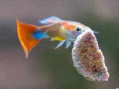 Guppy fish (tirfing88) Tags: red fish guppy aquarium water animals livebearer freshwater pets lumix panasonic gx85 olympus macro m43 colorful fishtank
