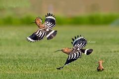 Upupa Epops, Τσαλαπετεινός, Common Hoopoe (belas62) Tags: λάμψακοσ εύβοια αγριοκόκορασ πουλί greece bird ngc evia bif