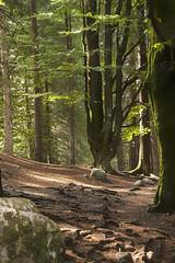 La forêt vosgienne du côté de Xonrupt-Longemer (mrieffly) Tags: canoneos50d vosges foretvosgienne
