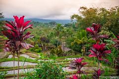 DSC_3360 (Sebastien J Bernard) Tags: jatiluwih rice terraces