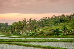 DSC_3359 (Sebastien J Bernard) Tags: jatiluwih rice terraces