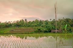 DSC_3353 (Sebastien J Bernard) Tags: jatiluwih rice terraces