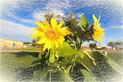 The Sunflowers (kendoman26) Tags: hss happyslidersunday topazstudio2 sunflower sonyalpha sonyphotographing sonya6000 sel1628 sonyvclecu1