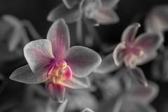 Orchideen (markus.eymann@hotmail.ch) Tags: blume bunt entdecken farbe gesichter grau märchen natur naturbildinhalt orchidee pflanze traum vielfalt wesen