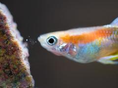 Guppy Fish eating (tirfing88) Tags: red colorful pets fish macro water lumix aquarium olympus panasonic fishtank guppy freshwater m43 livebearer gx85