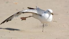 Балет (Yuriy Kuzmenok) Tags: птицы птица природа животные чайка