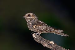 Caprimulgus europaeus, Γιδοβύζι, European nightjar (belas62) Tags: bird ngc greece nocturnal γιδοβυζάχτρα πουλί πεντέλη