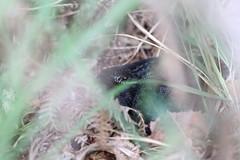 Melanistic Adder. (ChristianMoss) Tags: melanistic black adder snake vipera berus reptile