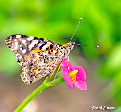 Spring Butterfly فراشات الربيــــع