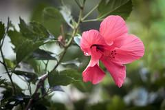 Hoa dâm bụt (Hibiscus) (luongsangit58) Tags: fujifilm fuji fujifilmxt10 hoa flower minolta plant bokeh hibiscus