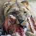 Young lioness eating a big piece of meat