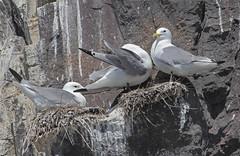 Kittiwakes (D R Swift) Tags: gulls kittiwakes farneislands northumberland
