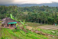 DSC_3327 (Sebastien J Bernard) Tags: jatiluwih rice terraces