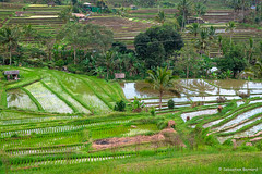 DSC_3326 (Sebastien J Bernard) Tags: jatiluwih rice terraces