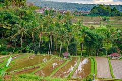DSC_3323 (Sebastien J Bernard) Tags: jatiluwih rice terraces