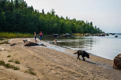 DSC_4195 (olailagus) Tags: dogs labradorretriever labrador retriever goldenretriever golden finland swimming sea coast koira hund kultainennoutaja kultsu lapukka lmaxmo västerö ryssberget