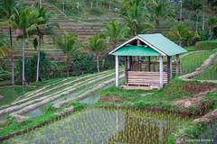 DSC_3348 (Sebastien J Bernard) Tags: jatiluwih rice terraces