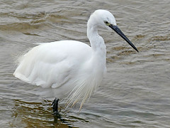 Little egret (Charos Pix) Tags: littleegret egrettagarzetta