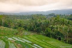 DSC_3345 (Sebastien J Bernard) Tags: jatiluwih rice terraces