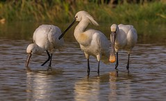 ESPATULAS (Jose A. Ortiz) Tags: naturaleza aves espatulas birds nature wild agua rio sevilla luz pajaros acuaticas sony a700 bigma sigma 50500 alpha