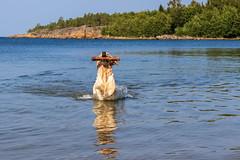 3K4A6198 (olailagus) Tags: dogs labradorretriever labrador retriever goldenretriever golden finland swimming sea coast koira hund kultainennoutaja kultsu lapukka lmaxmo västerö ryssberget