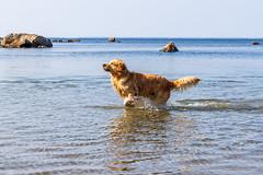3K4A6195 (olailagus) Tags: dogs labradorretriever labrador retriever goldenretriever golden finland swimming sea coast koira hund kultainennoutaja kultsu lapukka lmaxmo västerö ryssberget