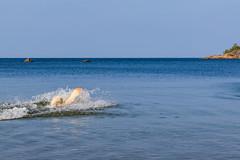 3K4A6192 (olailagus) Tags: dogs labradorretriever labrador retriever goldenretriever golden finland swimming sea coast koira hund kultainennoutaja kultsu lapukka lmaxmo västerö ryssberget