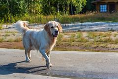 3K4A6188 (olailagus) Tags: dogs labradorretriever labrador retriever goldenretriever golden finland swimming sea coast koira hund kultainennoutaja kultsu lapukka lmaxmo västerö ryssberget