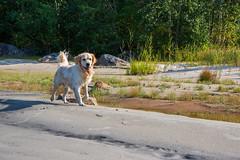 3K4A6183 (olailagus) Tags: dogs labradorretriever labrador retriever goldenretriever golden finland swimming sea coast koira hund kultainennoutaja kultsu lapukka lmaxmo västerö ryssberget