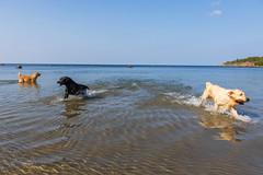 3K4A6177 (olailagus) Tags: dogs labradorretriever labrador retriever goldenretriever golden finland swimming sea coast koira hund kultainennoutaja kultsu lapukka lmaxmo västerö ryssberget