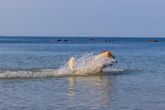 3K4A6170-2 (olailagus) Tags: dogs labradorretriever labrador retriever goldenretriever golden finland swimming sea coast koira hund kultainennoutaja kultsu lapukka lmaxmo västerö ryssberget