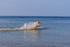 3K4A6170 (olailagus) Tags: dogs labradorretriever labrador retriever goldenretriever golden finland swimming sea coast koira hund kultainennoutaja kultsu lapukka lmaxmo västerö ryssberget