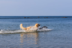 3K4A6169-3 (olailagus) Tags: dogs labradorretriever labrador retriever goldenretriever golden finland swimming sea coast koira hund kultainennoutaja kultsu lapukka lmaxmo västerö ryssberget