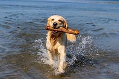 3K4A6162 (olailagus) Tags: dogs labradorretriever labrador retriever goldenretriever golden finland swimming sea coast koira hund kultainennoutaja kultsu lapukka lmaxmo västerö ryssberget