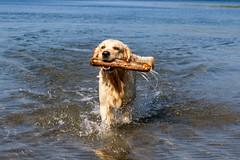 3K4A6160 (olailagus) Tags: dogs labradorretriever labrador retriever goldenretriever golden finland swimming sea coast koira hund kultainennoutaja kultsu lapukka lmaxmo västerö ryssberget