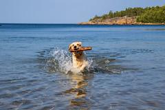 3K4A6154 (olailagus) Tags: dogs labradorretriever labrador retriever goldenretriever golden finland swimming sea coast koira hund kultainennoutaja kultsu lapukka lmaxmo västerö ryssberget