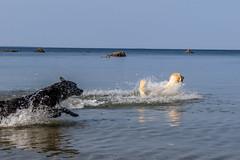 3K4A6147-2 (olailagus) Tags: dogs labradorretriever labrador retriever goldenretriever golden finland swimming sea coast koira hund kultainennoutaja kultsu lapukka lmaxmo västerö ryssberget