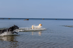 3K4A6147 (olailagus) Tags: dogs labradorretriever labrador retriever goldenretriever golden finland swimming sea coast koira hund kultainennoutaja kultsu lapukka lmaxmo västerö ryssberget