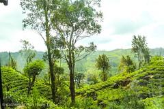 Kandy, tea plantation, Sri Lanka