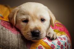Labrador-Puppy (patrick_illhardt) Tags: dog labrador pet puppy cute portrait hund hundefotografie porträt dogportrait animal animalphotography petphotography