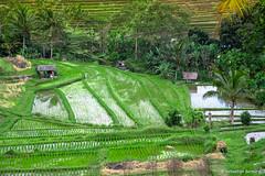 DSC_3328 (Sebastien J Bernard) Tags: jatiluwih rice terraces