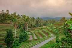 DSC_3356 (Sebastien J Bernard) Tags: jatiluwih rice terraces