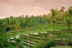DSC_3355 (Sebastien J Bernard) Tags: jatiluwih rice terraces