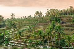 DSC_3347 (Sebastien J Bernard) Tags: jatiluwih rice terraces