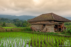 DSC_3346 (Sebastien J Bernard) Tags: jatiluwih rice terraces