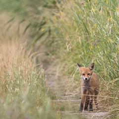 Begegnung (IIIfbIII) Tags: fox fuchs fantasticnature naturephotography naturfotografie natur nature anklamerstadtbruch mv mecklenburgvorpommern wildlifephotography wildlife
