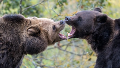 Brown bears (magnus.johansson10) Tags: bear brunbjörn björn bears skansen sweden stockholm nature wildlife animals djur brownbear